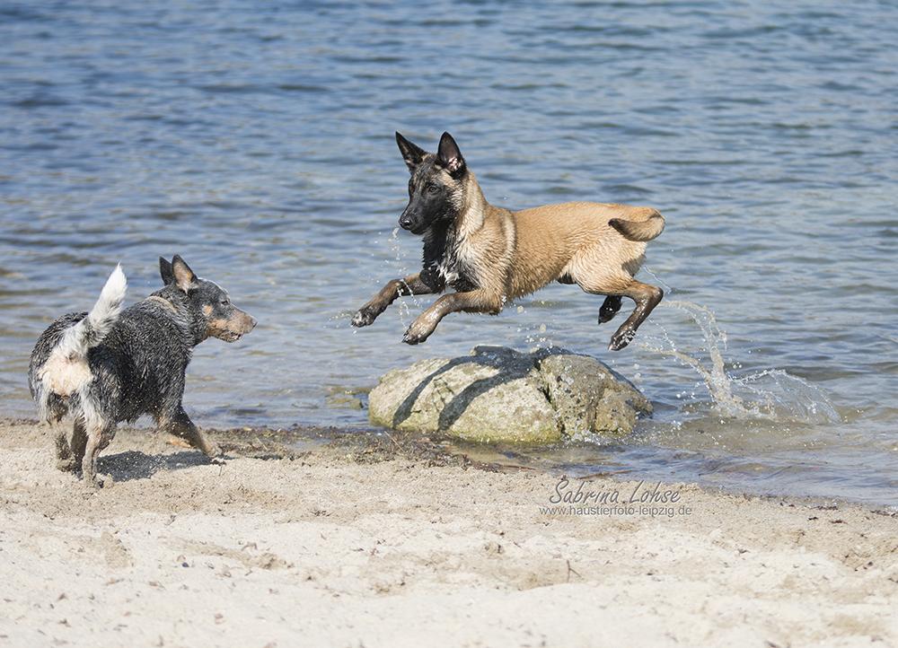 Australian Cattle Dog und Deutscher Schäferhund