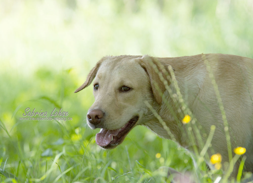 Labrador Amy (2)