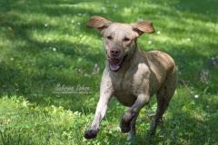 Labrador Amy