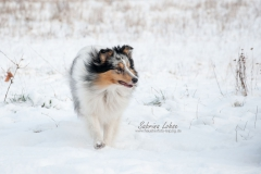 Sheltie Dusty
