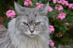 Norwgische Waldkatze Naila