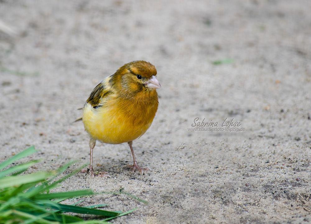 Kanarienvogel Hansi